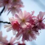 桜の名所中の名所 平野神社